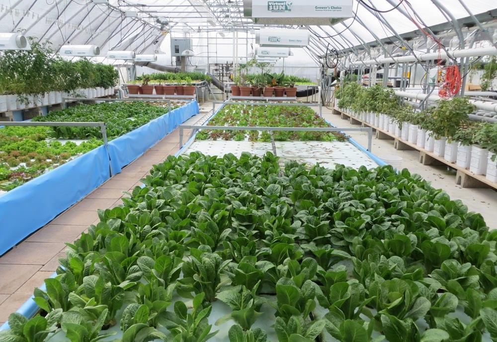 A line of plants growing in hydroponics farm.