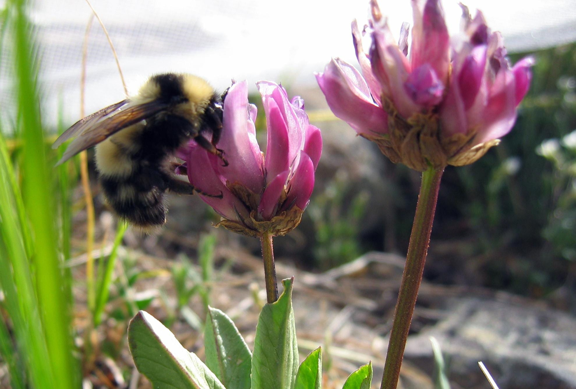 A bumblebee queen collects nectar from alpine clover.